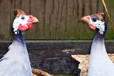 Male And Female Guinea Fowl