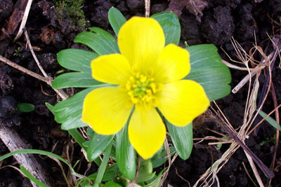 Winter Aconite In Full Bloom