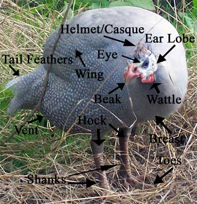 Labelled Body Parts Of A Female Guinea Fowl