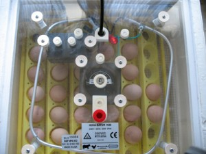 Guinea Fowl Eggs In Incubator