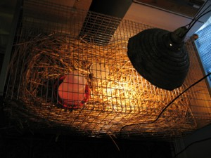 Brooder For Guinea Fowl Keets With Heat Lamp