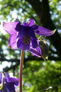 Purple Aquilegia Columbine