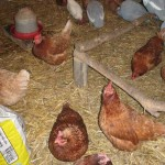 Hens In Hut With Guinea Fowl