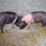Saddleback Gilts