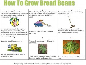 How To Grow Broad Beans Instructions