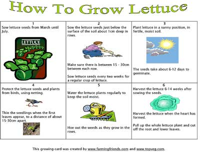 Instructions For Growing Lettuce Farming Friends