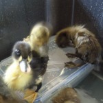 Khaki Campbell Ducklings Having a Splash About