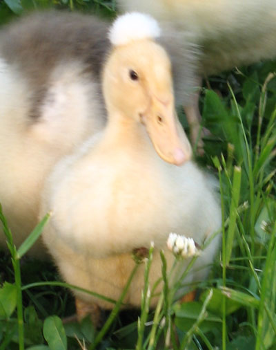 Crested duckling