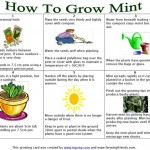 How To Grow Mint Instructions
