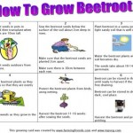 How To Grow Beetroot Growing Card