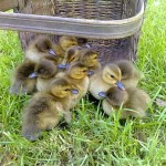 Alan's ducklings