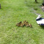 Alan's Ducklings On The Move
