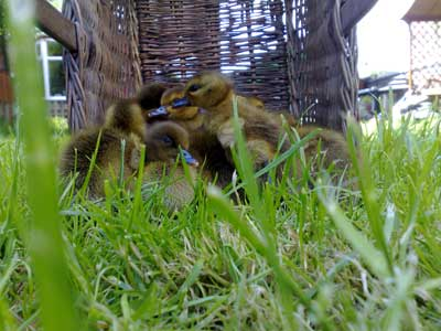 Alan's Ducklings Venturing Outside