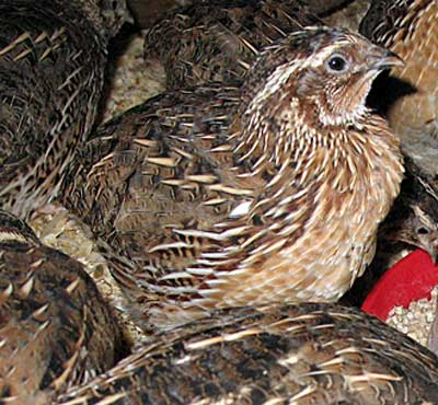 The Common Quail  Coturnix  Quail Bird Male