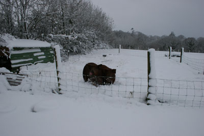 Tamworth X Gloucester Old Spot Pigs Enjoying The Snow