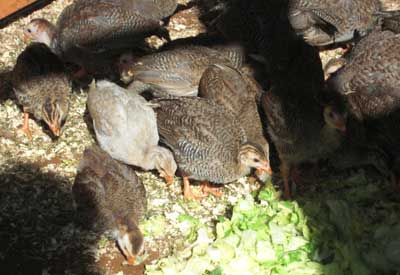 Guinea Fowl Keets Eating Lettuce In New Run