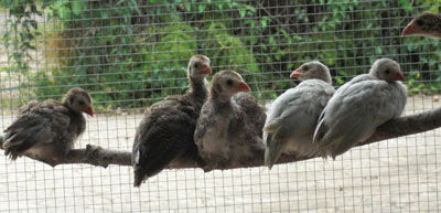 Guinea Fowl Keets Perching