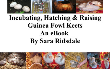Front Cover Of Incubating, Hatching & Raising Guinea Fowl Keets An eBook