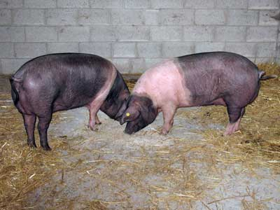 Saddleback Sows