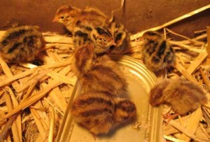 Eight Japanese Quail Chicks
