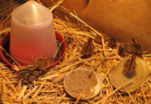 Japanese Quail Chicks In Brooder