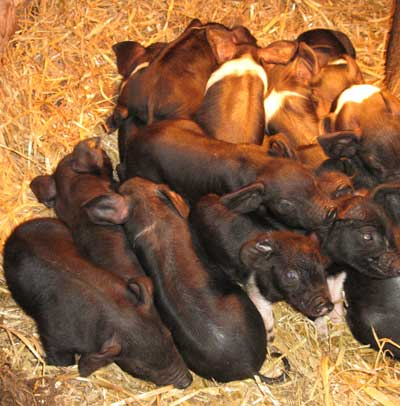 Week Old Saddleback Piglets