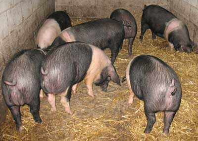 Seven Saddleback Gilts
