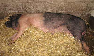 Cagney the Saddleback sow relaxing in the sow barn after weaning the piglets
