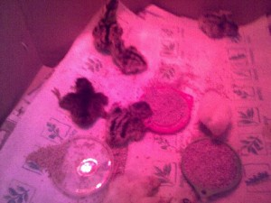 Sallie's Day Old Pheasant Chicks