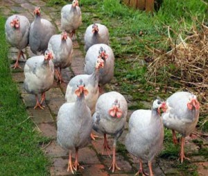 Free Ranging Guinea Fowl