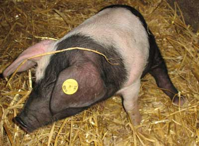 Patch the Saddleback Piglet