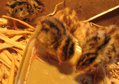 Japanese Quail Chicks