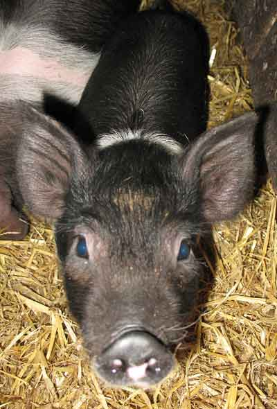 Tiny The Saddleback Piglet