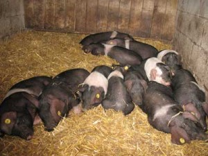 14 Saddleback Weaners Sleeping