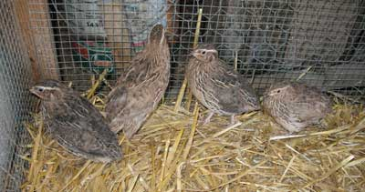 Four Japanese quail That Are  Quail Bird Farming
