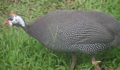 Amelia The Guinea Fowl