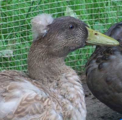 Cheryl's Crested Khaki Campbell Duck