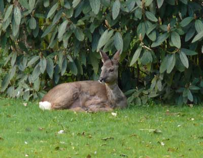 Deer Resting In The TopVeg Garden