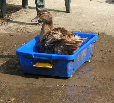 Duck In Water Container