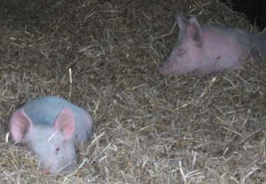 Daniel's Piglets Hiding In Straw