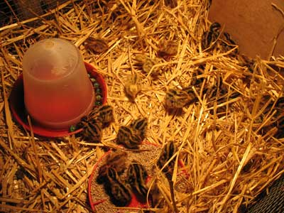 29 Day Old Quail Chicks In Brooder