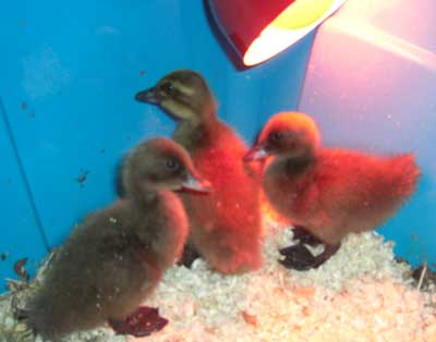 Heather's 3 khaki campbell ducklings in brooder