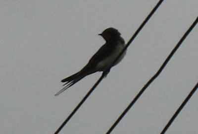 Adult Swallow