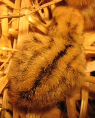 Cream coloured Japanese quail chick