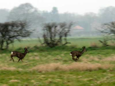 Roe Deer On The Run