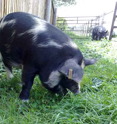 Mable The Kune Kune Pig
