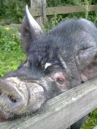 Wayne The Kune Kune Boar