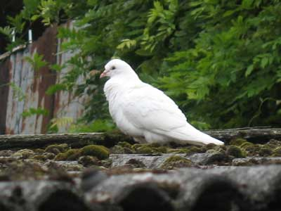 White pigeon or a dove