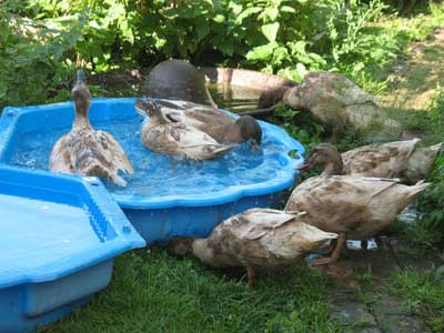 Ducks Enjoying New Pools
