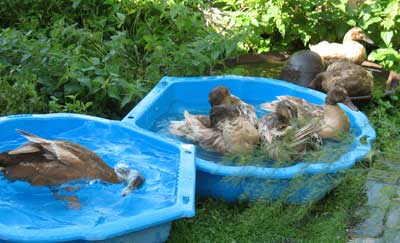Ducks Enjoying The Water In Three Pools